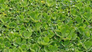 Schwimmpflanzen Aquarium kaufen - Muschelblume